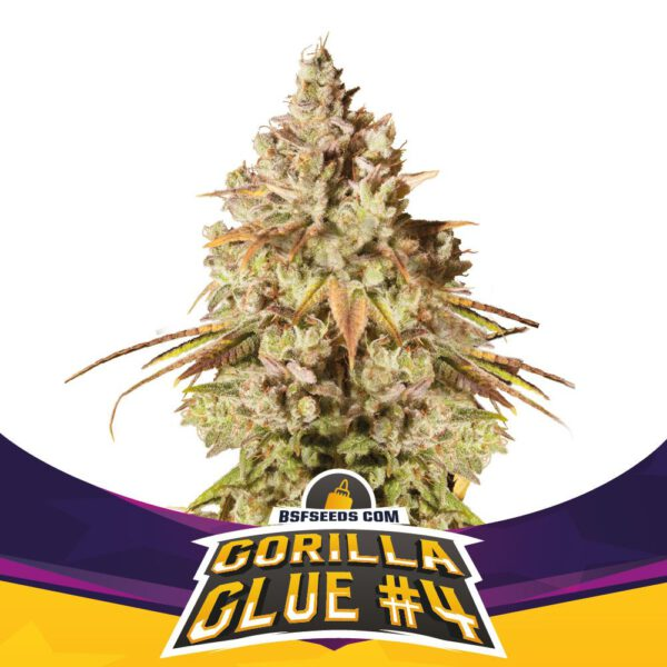 BSF Seeds - Gorilla Glue #4 - Semillas Fem (x2)
