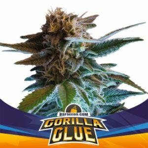 BSF Seeds - Gorilla Glue - Semillas Auto (x2)