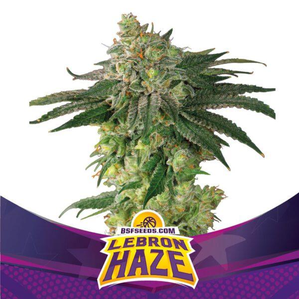 BSF Seeds - Lebron Haze - Semilla Feminizada (x2)